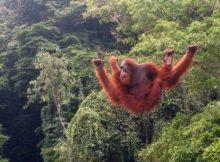 Orangutan di kawasan Bukit Lawang di Taman Nasional Gunung Leuser (dok. walhi aceh)