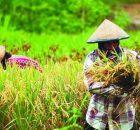 Petani memanen padi di sawah. (dok. bolg.umy.ac.id