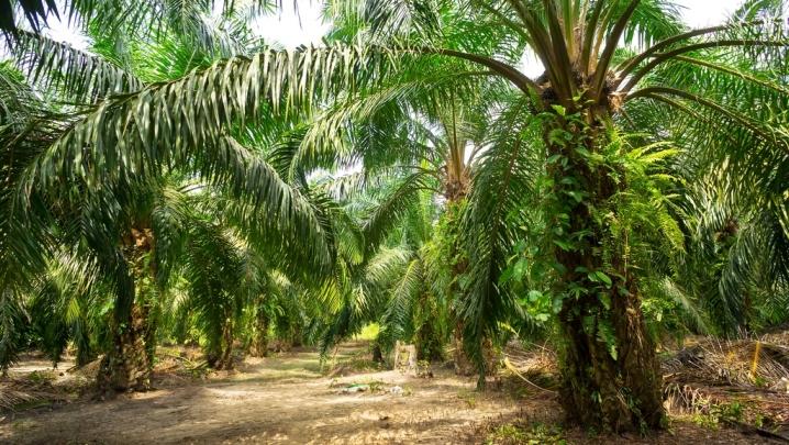 Perkebunan kelapa sawit (dok. palmoilpledge.id)