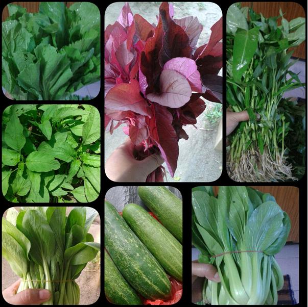 Ragam jenis sayuran organik yang dibudidaya kelompok Siantar Sehat Organik (dok. apni naibaho)