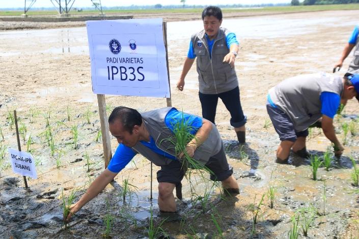 Alumni IPB melakukan penanaman padi varietas IPB3S di sawah di Subang (alumni IPB)