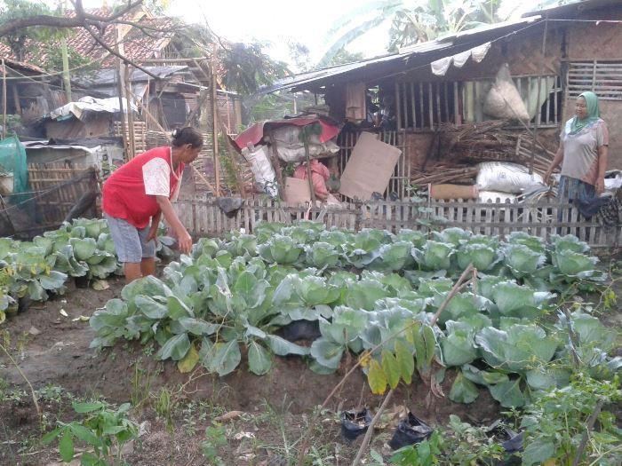 Warga merawat tanaman sayur kol yang sudah siap panen (dok. villagerspost.com/tim jurnalis desa kalensari