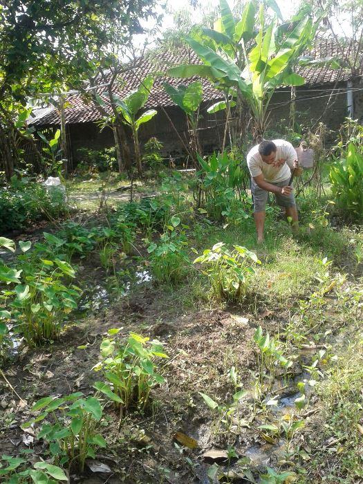 Mengolah pekarangan rumah untuk ditanami tanaman umbi (dok. villagerspost.com/tim jurnalis desa kalensari)