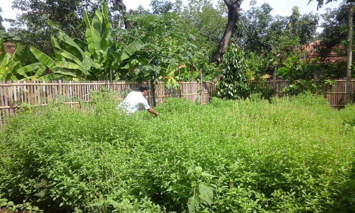 Pekarangan rumah rimbun dengan tanaman kemangi (dok. villagerspost.com/tim jurnalis desa kalensari)