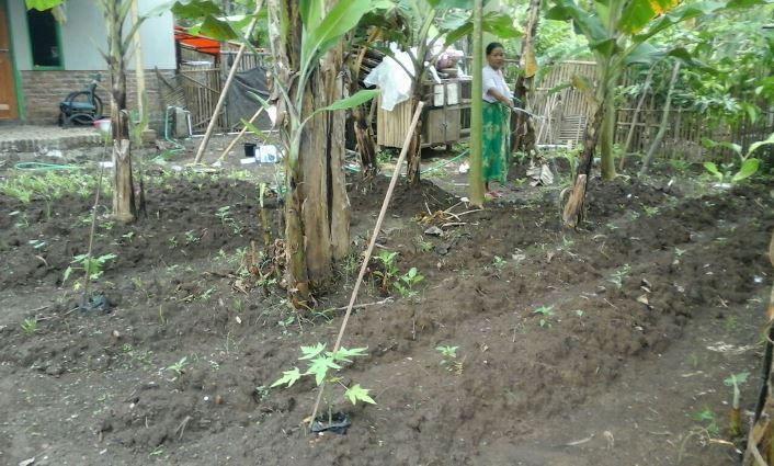 Pekarangan rumah dipenuhi bibit tanaman buah pepaya (dok. villagerspost.com/tim jurnalis desa kalensari)
