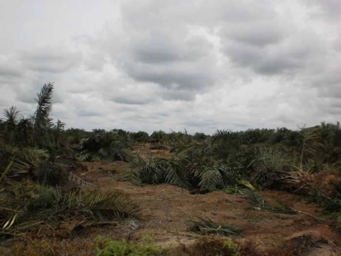 Pemusnahan kebun sawit ilegal di TN Tesso Nilo (d0k. wwf)