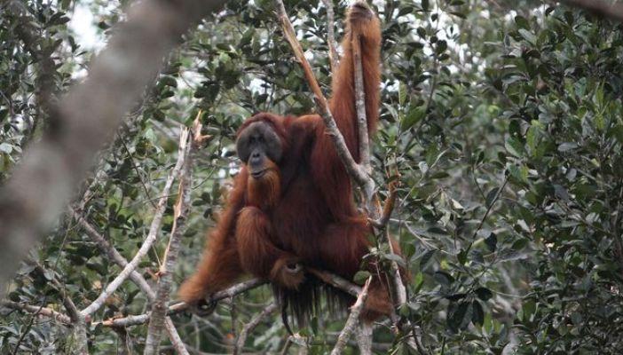 Orangutan di kawasan ekosistem Leuser (dok. leuser conservation partnership)