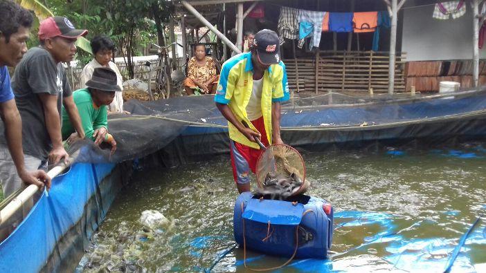 Lele dipindahkan ke wadah penampungan (dok. villagerspost.com/tim jurnalis desa kalensari)