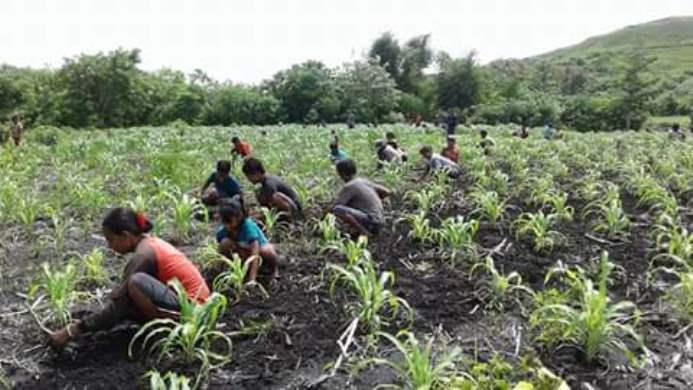Petani Sumba belajar membuat sistem pemulsaan dengan daun daun alami untuk menjaga kelembaban tanah (dok. villagerspost.com/rahmat adinata)