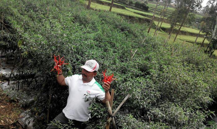 Abba eban memamerkan cabai merah segar organik hasil panen di kebunnya (dok. villagerspost.com/rahmat adinata)