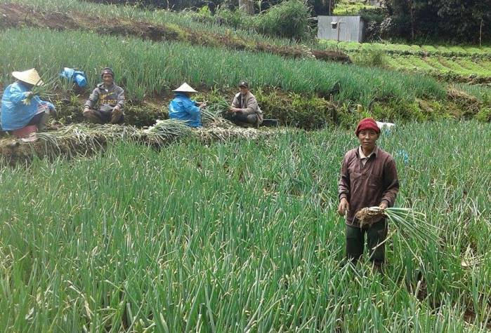 Daeng Abu di hamparan kebun daun bawang miliknya (dok. villagerspost.com/jamaluddin dg abu)