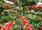 Tanaman kopi Indonesia (dok. wikipedia)