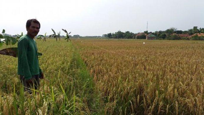 Sawah milik Yusup bebas serangan kresek dengan pertanian organik (dok. villagerspost.com/tatang tarsono)