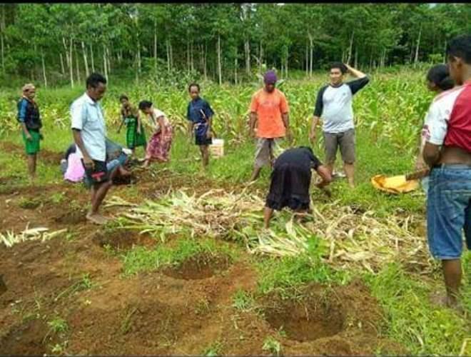 Memenfaatkan sisa jerami jagung untuk pemulsaan alami (dok. villagerspost.com/rahmat adinata)