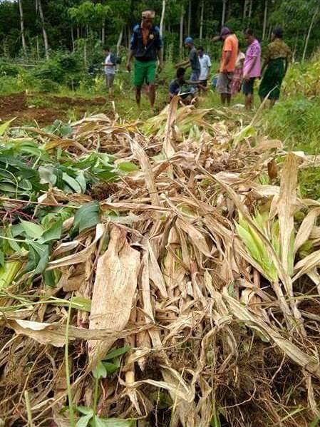 Tumpukan jerami jagung sisa panen siap diolah menjadi mulsa alami (dok. villagerspost.com/rahmat adinata)