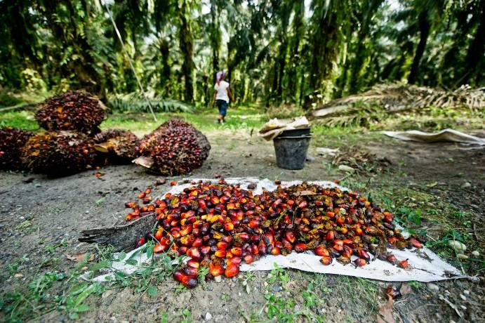 Petani sawit memanen buah sawit (dok. wwf/james morgan)