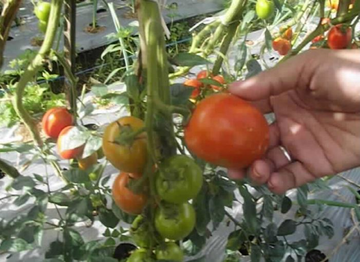 Harga jatuh, petani memanen tomat hingga sedikit matang menunggu harga membaik (dok. villagerspost.com/rahmat adinata)