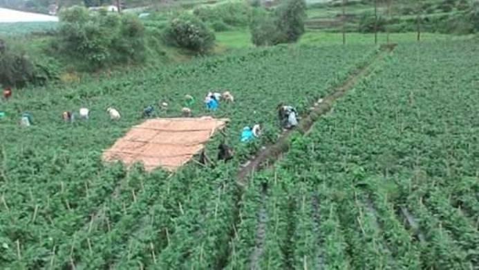 Hamparan perkebunan buncis Kenya di Pangalengan, Kabupaten Bandung (dok. villagerspost.com/rahmat adinata)