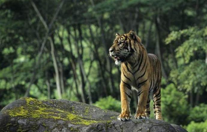 Hutan Sumatera, habitat berbagai satwa dilindungi seperti harimau Sumatera (dok. greenpeace)