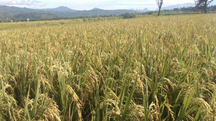 Hamparan padi menguning di Dusun Takala Barat, Pinrang, Sulsel (dok. villagerspost.com/suharjo)