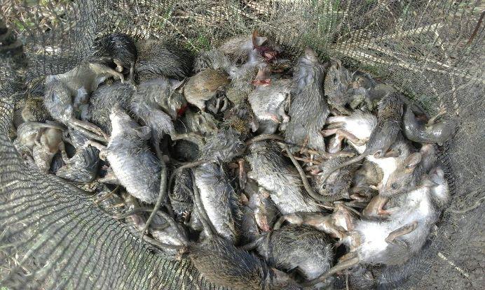 Ratusan tikus berhasil dibasmi (dok. villagerspost.com/jurnalis warga desa kalensari)
