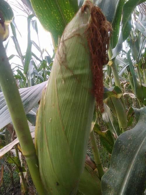 Dengan bongkol yang besar, dari 1,25 kg bibit bisa menghasilkan 2 ton jagung manis (dok. villagerspost.com/nanang susanto)