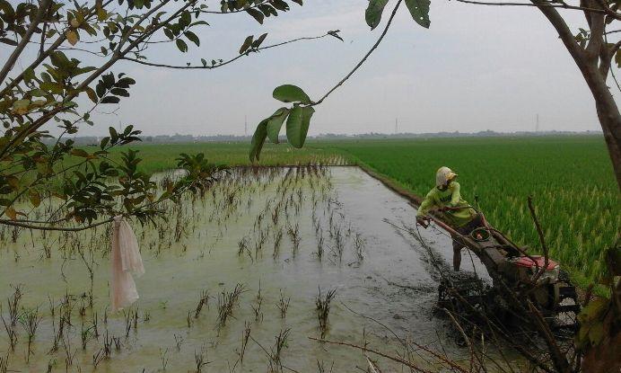 Untuk mengurangi kerugian, terpaksa para petani membajak ulang sawahnya (dok. villagerspost.com/jurnalis warga desa kalensari)
