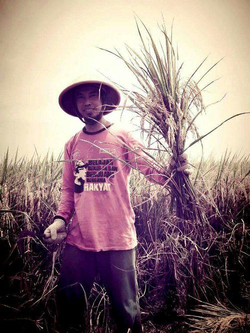Meski hasil panen menurun jauh, petani desa Nunuk, Indramayu tetap bersyukur masih bisa melakukan panen (dok. villagerspost.com/tarsono)